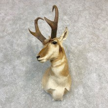 Pronghorn Taxidermy Shoulder Mount #21837 For Sale @ The Taxidermy Store