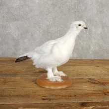 Ptarmigan Mount For Sale #20382 @ The Taxidermy Store