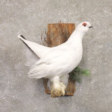 Ptarmigan Mount For Sale #22190 @ The Taxidermy Store