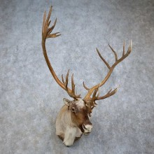 Mountain Caribou Taxidermy Shoulder Mount For Sale
