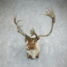 Quebec Labrador Caribou Shoulder Mount For Sale #18345 @ The Taxidermy Store