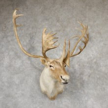 Quebec Labrador Caribou Shoulder Mount For Sale #19166 @ The Taxidermy Store