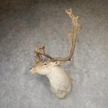 Quebec Labrador Caribou Taxidermy Shoulder Mount For Sale