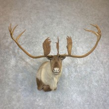 Quebec Labrador Caribou Shoulder Mount For Sale #21927 @ The Taxidermy Store