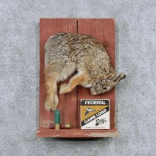 Cottontail Rabbit Life Size Taxidermy Mount For Sale