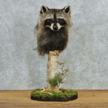 Raccoon Pedestal Taxidermy Shoulder Mount M1 #12778 For Sale @ The Taxidermy Store