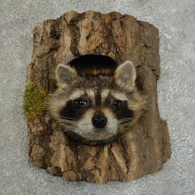 Raccoon Head Novelty Mount For Sale #16859 @ The Taxidermy Store
