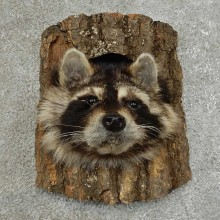 Raccoon Head Novelty Mount For Sale #16863 @ The Taxidermy Store