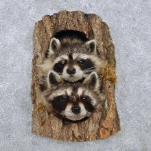 Raccoon Head Pair Mount For Sale #14225 @ The Taxidermy Store