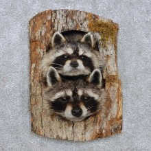 Raccoon Head Pair Mount For Sale #14226 @ The Taxidermy Store