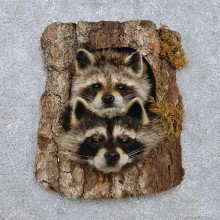 Raccoon Head Pair Mount For Sale #14228 @ The Taxidermy Store