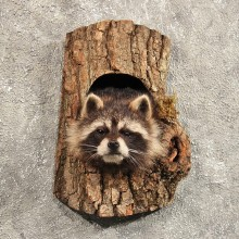 Raccoon Mount in Log #11459 - For Sale - The Taxidermy Store