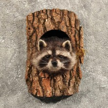 Raccoon Mount in Log #11461 - For Sale - The Taxidermy Store