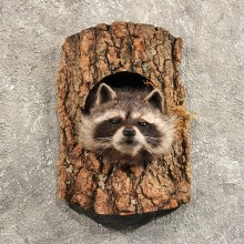 Raccoon Mount in Log #11462 - For Sale - The Taxidermy Store