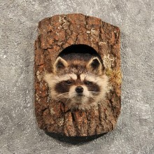 Raccoon Mount in Log #11465 - For Sale - The Taxidermy Store