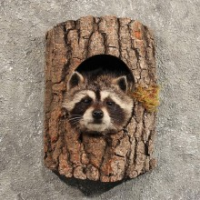 Raccoon Mount in Log #11467 - For Sale - The Taxidermy Store