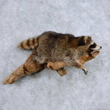 Laying Raccoon Life-Size Taxidermy Mount For Sale