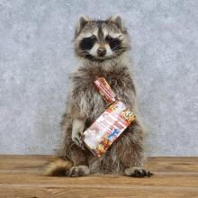 """Cracker Jack"" Raccoon Taxidermy Mount For Sale"