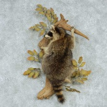 Raccoon Life-Size Wall Mount