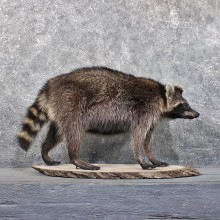 Standing Raccoon Mount #11854 For Sale @ The Taxidermy Store