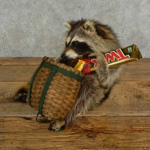 Novelty Raccoon Life-Size Mount For Sale #16971 @ The Taxidermy Store