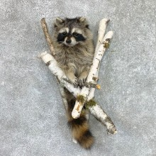 Raccoon Half Life-Size Mount For Sale #22464 @ The Taxidermy Store