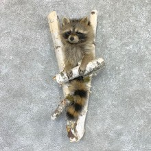 Raccoon Half Life-Size Mount For Sale #22465 @ The Taxidermy Store