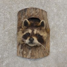 Raccoon Head Novelty Mount For Sale #21154 @ The Taxidermy Store