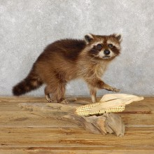 Raccoon Life-Size Mount For Sale #19354 @ The Taxidermy Store