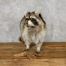 Raccoon Life-Size Mount For Sale #19466 @ The Taxidermy Store