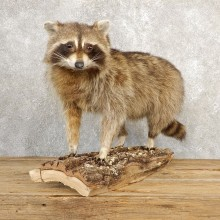 Raccoon Life-Size Mount For Sale #20658 @ The Taxidermy Store