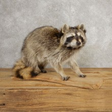 Raccoon Life-Size Mount For Sale #21055 @ The Taxidermy Store
