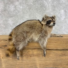 Raccoon Life-Size Mount For Sale #21489 @ The Taxidermy Store