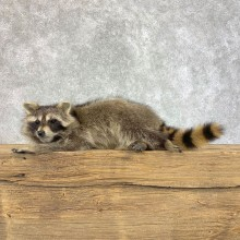Raccoon Life-Size Mount For Sale #22201 @ The Taxidermy Store