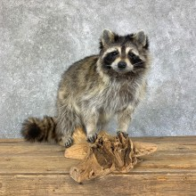 Raccoon Life-Size Mount For Sale #22713 @ The Taxidermy Store