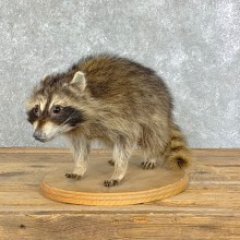 Raccoon Life-Size Mount For Sale #22872 @ The Taxidermy Store