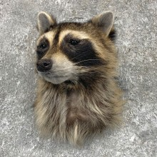 Raccoon Shoulder Taxidermy Mount For Sale