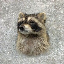 Raccoon Shoulder Mount For Sale #22991 @ The Taxidermy Store