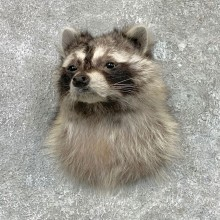 Raccoon Shoulder Mount For Sale #23063 @ The Taxidermy Store