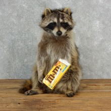 """""""M&M's"""" Raccoon Mount For Sale #17838 @ The Taxidermy Store"""