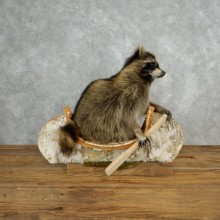 Canoeing Raccoon Novelty Mount For Sale #17840 @ The Taxidermy Store