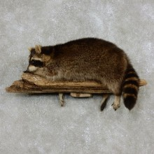 Wall-Hanging Raccoon Mount For Sale #17968 @ The Taxidermy Store