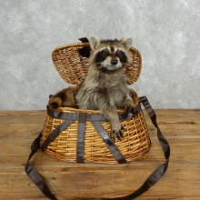 Novelty Creel Raccoon Taxidermy Mount For Sale