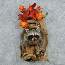 Raccoon Half Life Size Taxidermy #13026 For Sale @ The Taxidermy Store
