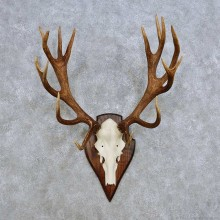 European Red Deer Skull Antler Mount For Sale #14416 @ The Taxidermy Store