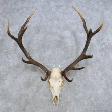 European Red Deer Skull Antler Mount For Sale #14421 @ The Taxidermy Store