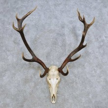 European Red Deer Skull Antler Mount For Sale #14424 @ The Taxidermy Store
