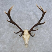 European Red Deer Skull Antler Mount For Sale #14425 @ The Taxidermy Store