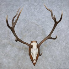 European Red Deer Skull Antler Mount For Sale #14427 @ The Taxidermy Store