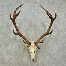 Red Deer Stag Skull European Taxidermy Mount For Sale